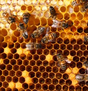 Выработка пчелами воска