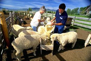 Особенности и правила разведения овец в личном подсобном хозяйстве