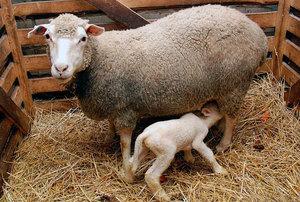 Особенности размножения овец и выращивания ягнят в домашних условиях