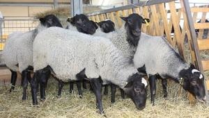 Описание лучших пород овец для разведения в домашних условиях