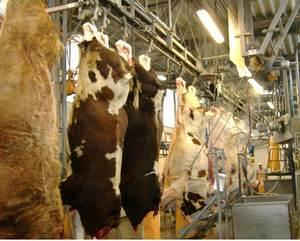 Забой коров и лошадей на мясокомбинате: как убивают и разделывают крупный рогатый скот