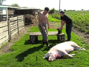 Как забить свинью ножом в домашних условиях