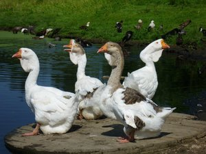 Как содержать холмогорских гусей