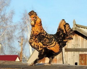 Характеристика павловской породы кур