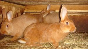 Новозеландские кролики и их характеристики