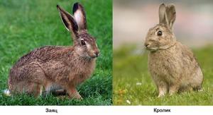 Как отличается заяц от кролика