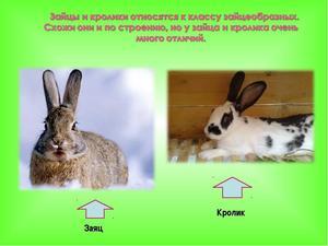 Разница между зайцами и кроликами