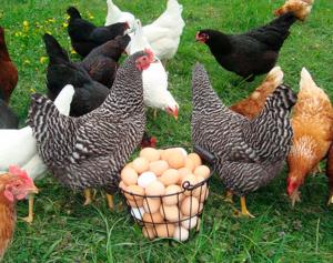 В каком возрасте куры начинают нести яйца