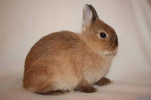 Королевский карликовый кролик