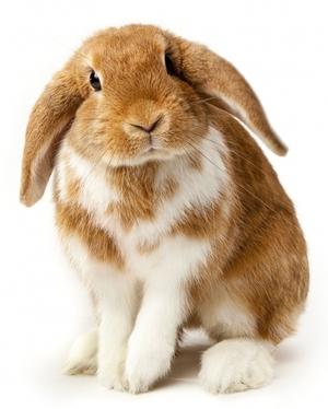 Кролик карликовой породы Вислоухий баран