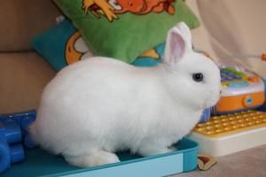 Карликовый кролик породы Гермелин