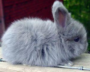 Ангорский кролик-карлик