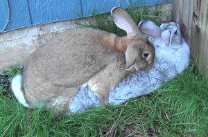 Спариваниие кроликов