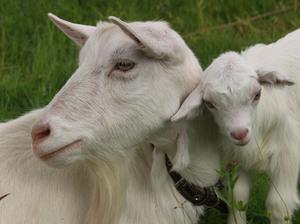 Чем отличается зааненская порода коз