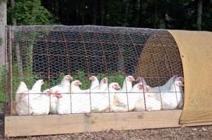 Выращивание бройлеров в домашних условиях: особенности разведения и кормления кур