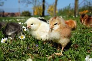 Кормление цыплят плимутрок