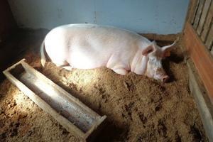Ферментационная подстилка для свиней, биоподстилка, подстилка нетто пласт