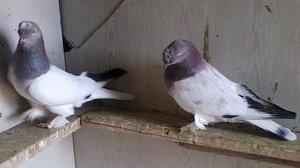 Турецкая такла - необычные голуби