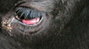 Как проявляется лейкоз у коровы