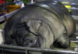 Виды больших свиней