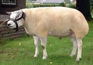Как кормить овец породы тексель