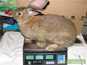 Кролик Фландр - порода великанов