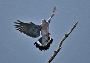Сизые голуби в городах