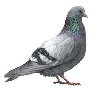 Городские уличные голуби