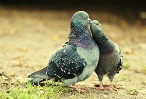 Места обитания сизых голубей