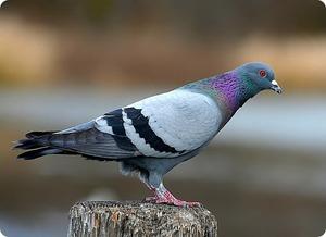 Почему голуби кивают головой