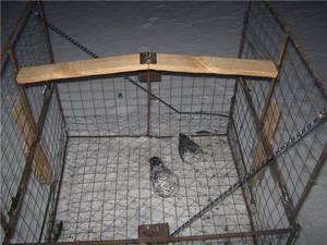 Способы поймать голубя