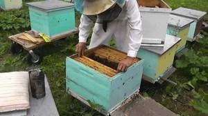 Как производится расселение пчелиных семей по Цебро