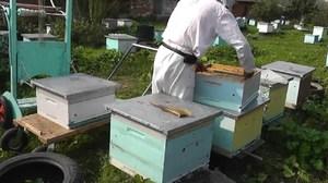Как правильно разводить пчел для получения меда