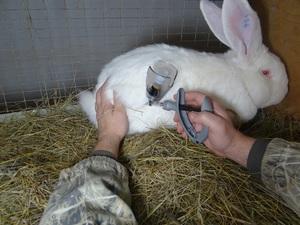 Вакцинация кроликов и виды прививок