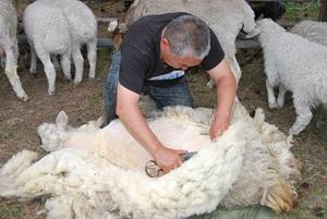 Особенности и правила стрижки овец