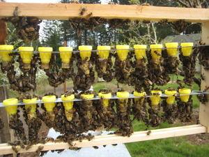 Формирование пчелинной семьи