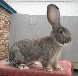 Ображ жизни кроликов ризен