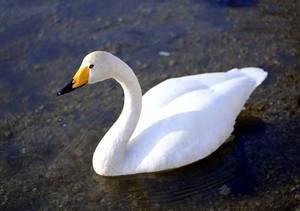 Лебедь-кликун очень широко распространен в нашей стране