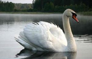 Белый лебедь–шипун - фото представителя вида