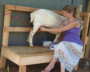 Правила доения коз в домашних условиях