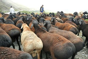 Как содержать гиссарских овец