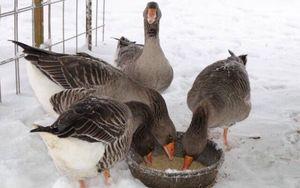 Как ухаживать за гусями зимой