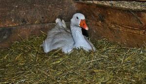 Как оборудовать помещение для зимовки гусей