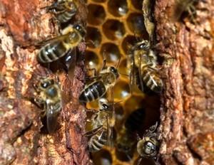 Ловля пчелиных роев ловушками