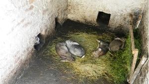 Кролики в яме - разведение зверьков