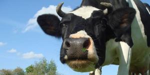Тимпания рубца довольно частая проблема у коров