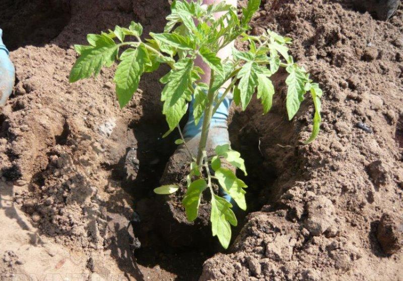 Как правильно выращивать томаты в теплице?
