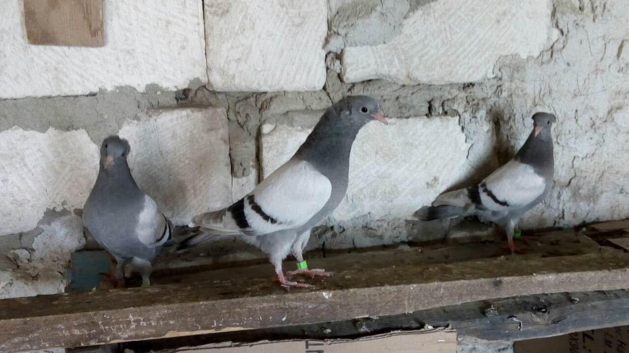 точнее фото голубей в г баку новых