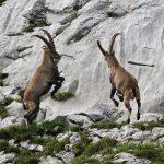 Дикий горный козел- разновидности горных козлов, западнокавказский и восточнокавказский тур, козел мархур