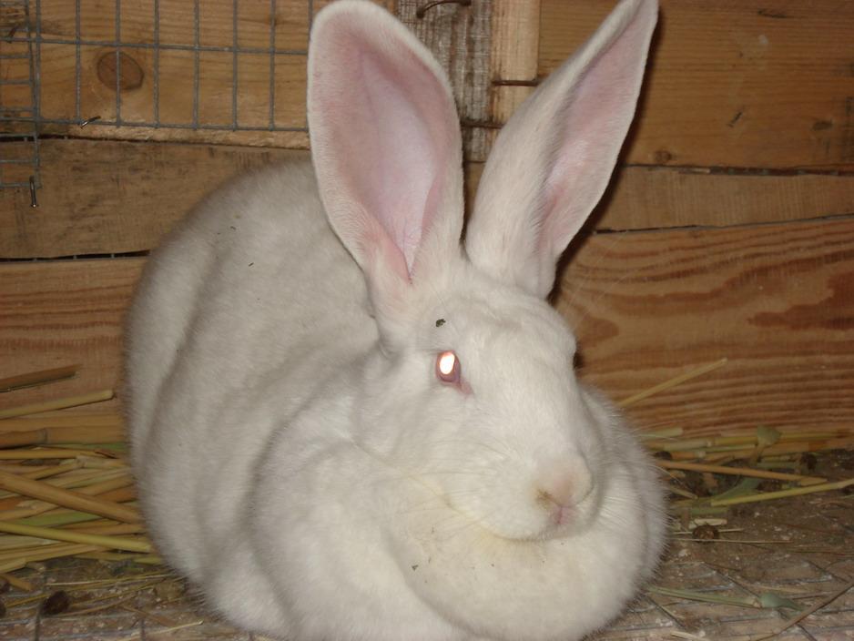 Белый великан кролики размножение